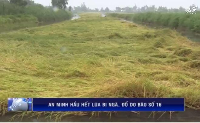 An Minh hầu hết lúa bị sập do bão số 16