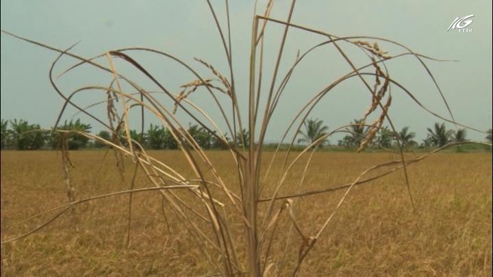 Lúa trúng mùa nhưng nông dân lo lắng