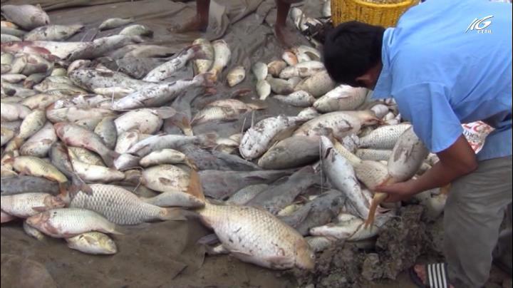 Hơn 1.500 tấn cá chết trên sông La Ngà do thiên tai
