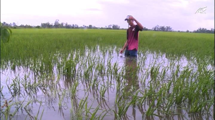 Cần giải pháp cứu lúa bị ngập úng