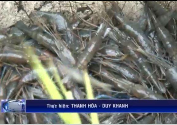 Đẩy mạnh từ trồng lúa sang nuôi tôm