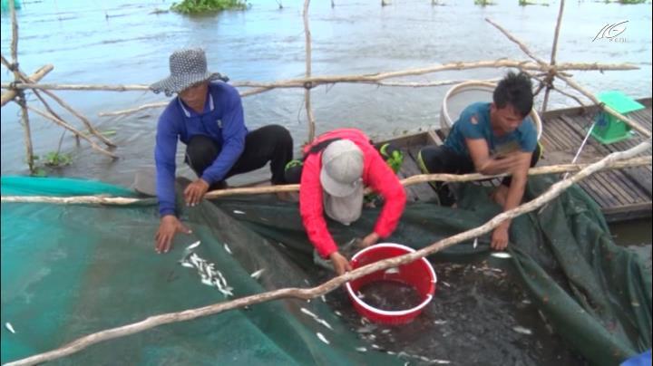 Ngư dân vùng lũ vào mùa đặt đáy cá linh