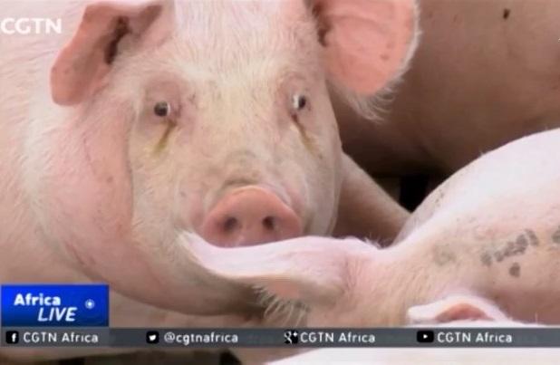 Bùng phát dịch tả lợn tại Nhật Bản