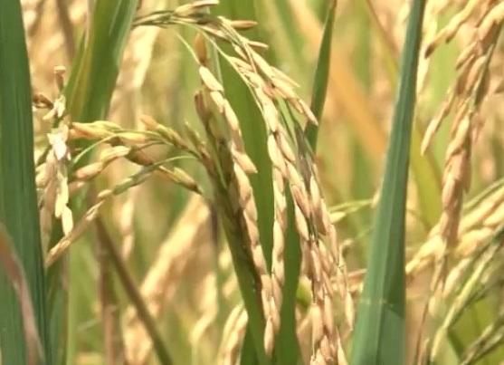 Nông nghiệp U Minh Thượng khó đạt kế hoạch đề ra