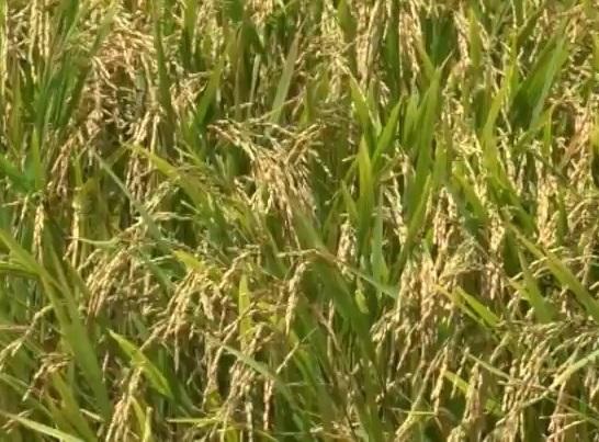 Đảm bảo an toàn sản xuất lúa khi lũ về sớm