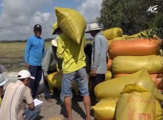 Tập trung thu hoạch lúa chạy lũ