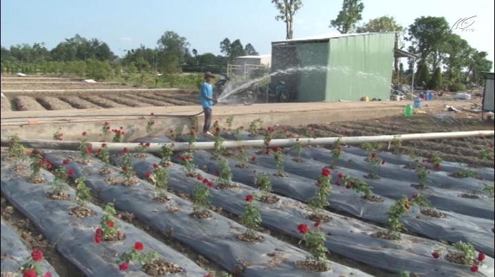 Cánh đồng hoa hồng 2,5 ha ở Sa Đéc