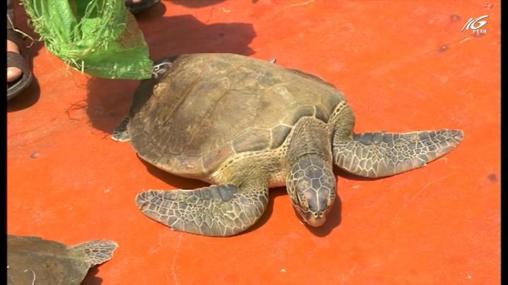 Thả 12 cá thể rùa biển về thiên nhiên