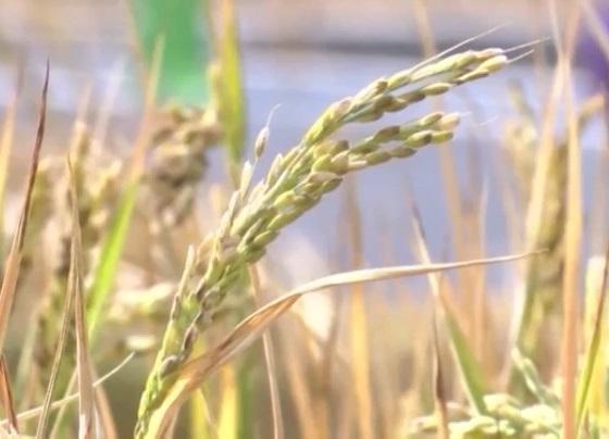 Trung Quốc phát triển lúa chịu mặn