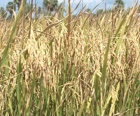 Con tôm, cây lúa chủ lực trong nông nghiệp