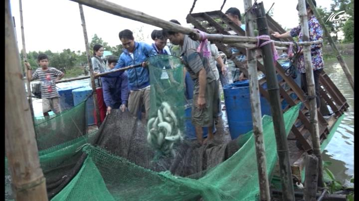 Lợi nhuận cao từ nuôi cá lóc bông