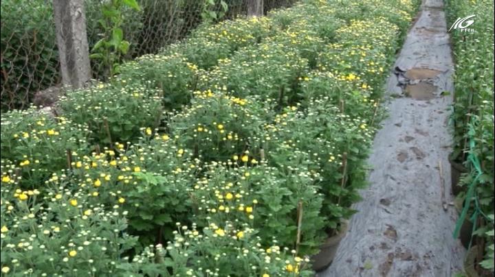 Làng hoa Núi Dinh hối hả vào vụ Tết