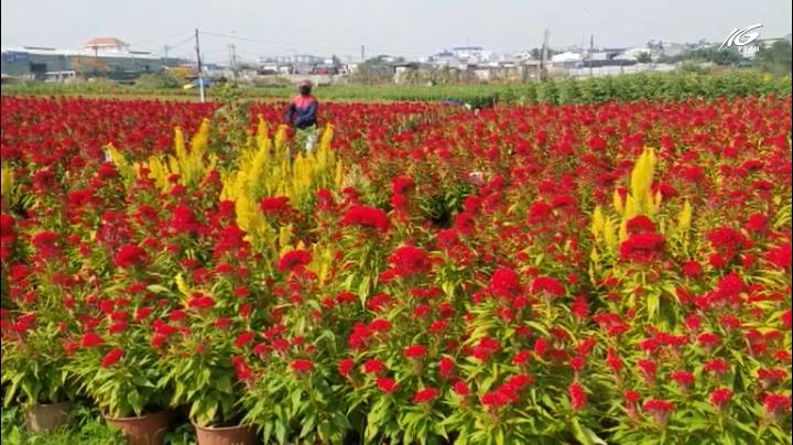 Thương lái đua nhau gom nhiều loại hoa