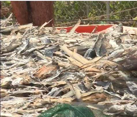 Phơi phụ phẩm cá gây ô nhiễm môi trường