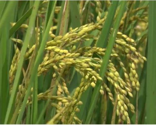 Gian nan đầu ra cho giống lúa Nhật
