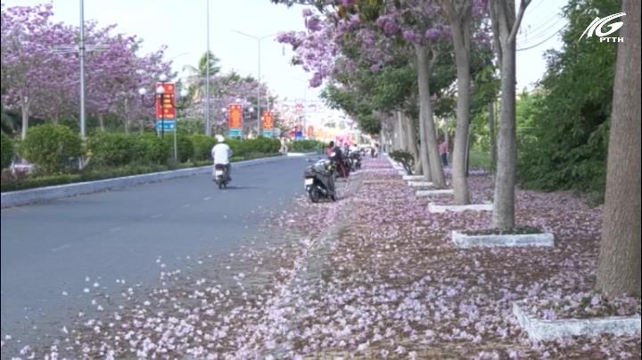 Độc đáo con đường hoa hồng kèn ở Sóc Trăng