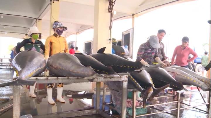 Giá cá ngừ giảm mạnh, ngư dân lo lắng
