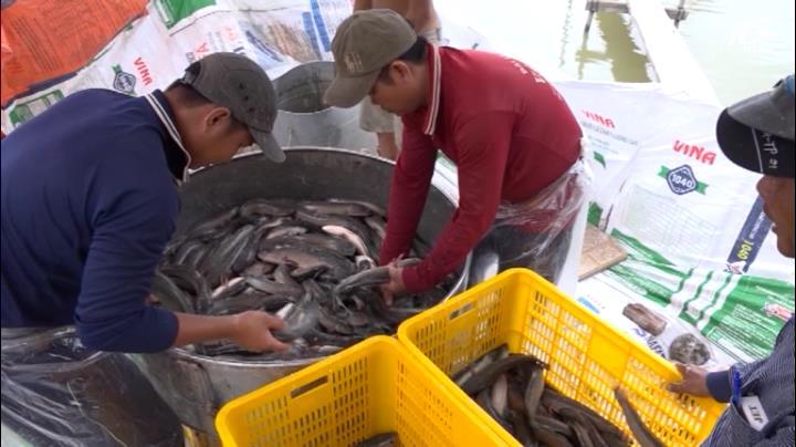 Cá lóc thương phẩm sốt giá mùa dịch heo châu Phi