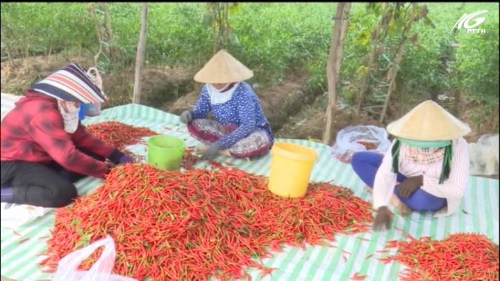 Giá ớt tăng cao kỷ lục, người trồng trúng lớn