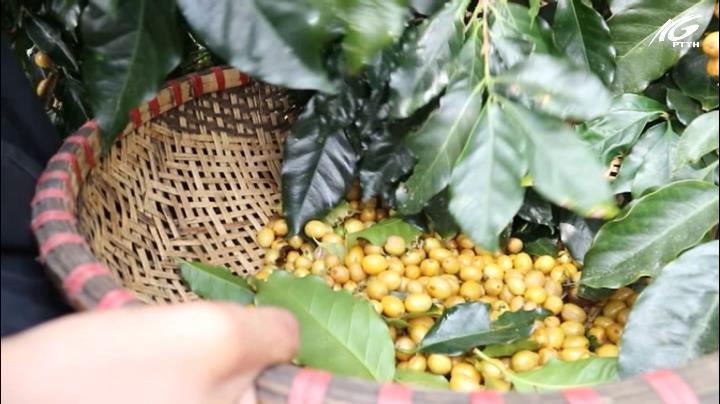 Giá cà phê tại Tây Nguyên đang phục hồi