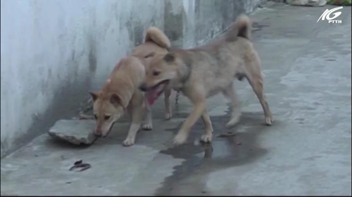 Hiểm họa từ chó nuôi thả rông
