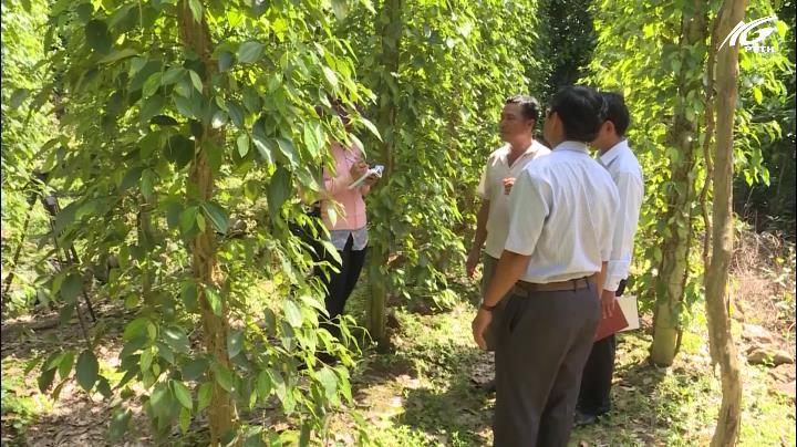 Phát triển thương hiệu cho nghề trồng tiêu Hà Tiên