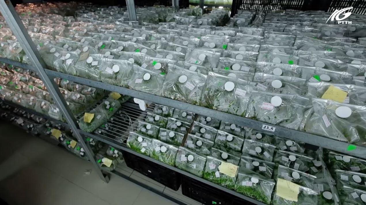 Nông dân xài giống hoa không bản quyền, nên khó xuất khẩu
