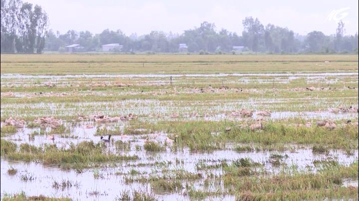 Tân Hiệp: Lúa thu đông giảm năng suất do mưa lớn kéo dài