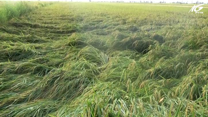 Kiểm tra tình hình thiệt hại lúa cho ảnh hưởng của bão