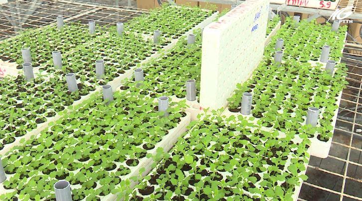 Chuyển giao 40.000 cây giống cấy mô cho nông dân trồng bán Tết