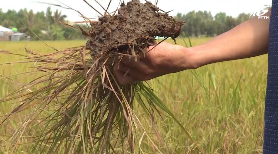 Lúa chết khô vì xâm nhập mặn tại H. Hòn Đất