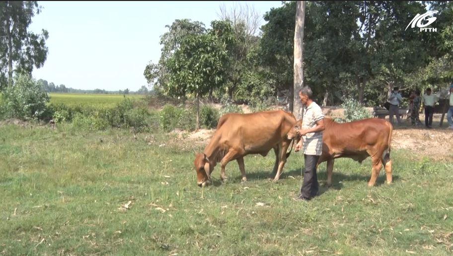 Huyện Giang Thành: Hiệu quả mô hình nuôi bò sinh sản dự án Heifer