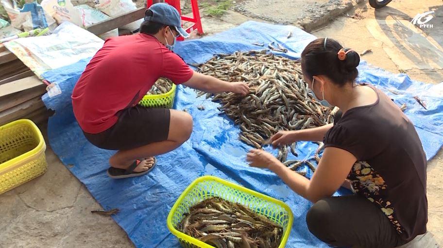 Huyện U Minh Thượng: Giá tôm giảm nhưng người nuôi vẫn có lãi