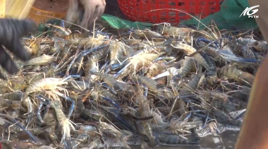 Huyện Vĩnh Thuận: Tôm rớt giá nỗi khổ của nông dân vì ảnh hưởng dịch COVID-19
