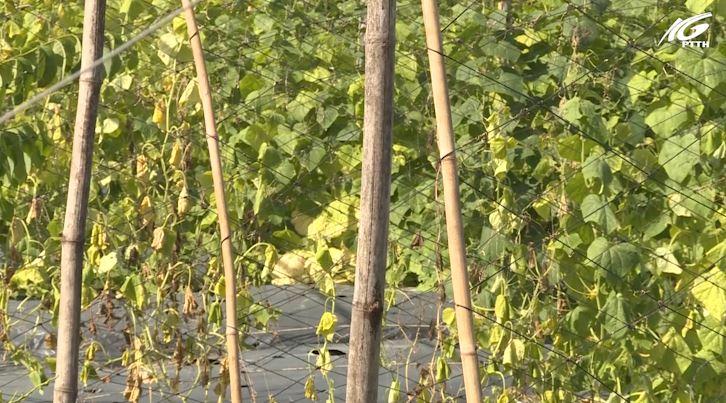 Trồng và chăm sóc rau màu trong điều kiện thời tiết bất lợi
