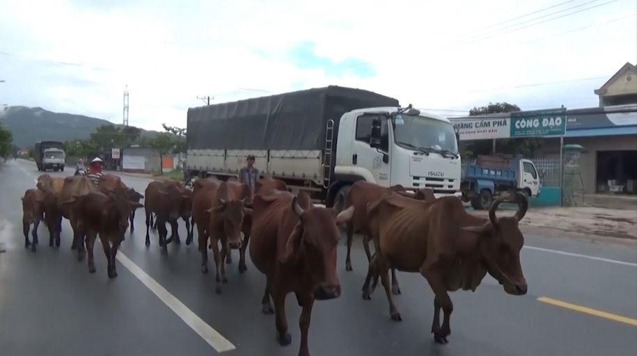 Cảnh báo tai nạn từ việc gia súc thả rông ngoài đường